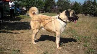 SUPER THICK FEMALE TURKİSH DOG