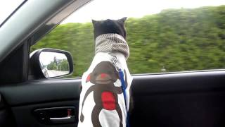 Funny cat loves car drives! Dog-like cat - HD