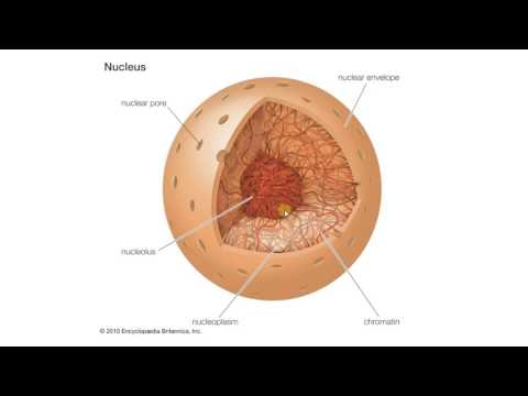 Биология в картинках:  Строение и функции ядра (Вып. 69)