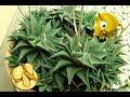 Suculenta RABO DE TATU (Haworthia limifolia)