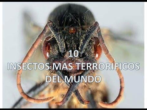 TOP 10: Los insectos más terroríficos del mundo