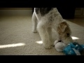 Wire Fox Terrier Basil unwrapping his 6th birthday gift