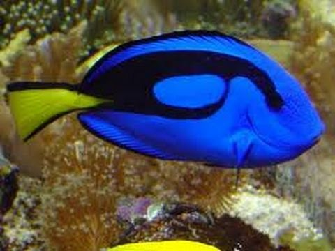 hqdefault jpgWhat Type Of Fish Is Dory