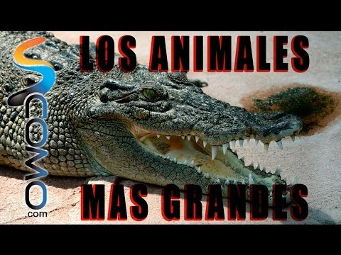 Top 10 animales más grandes del Mundo - Top 10 biggest animals on Earth