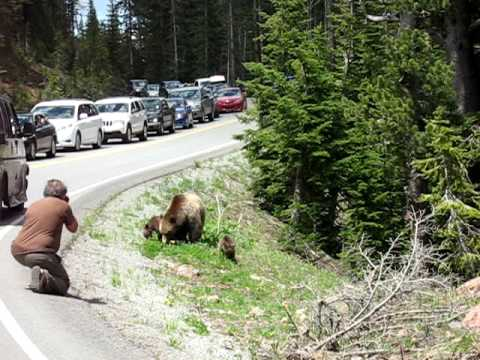 man photographing grizzly bear mother and two cubs at Yellowstone National Park July 2010