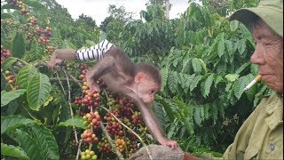 Baby Monkey | Doo Takes Part In Harvesting Coffee With Family