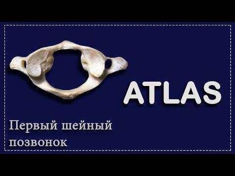 ПЕРВЫЙ ШЕЙНЫЙ ПОЗВОНОК | АТЛАНТ | ATLAS | ОСНОВЫ АНАТОМИИ ДЛЯ СТУДЕНТОВ-МЕДИКОВ