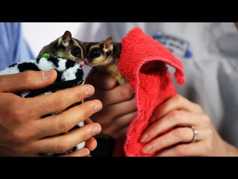 How to Pick a Companion Glider | Sugar Gliders