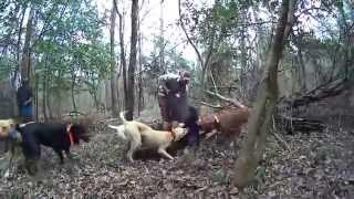 Hunting Hogs!! 2014