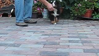 Bernese mountain dog puppy 7,5 weeks. Koras Iz Bolshogo Doma