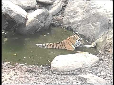 Tiger relaxing in water pool