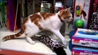 Stray cat is regular visitor to pet shop