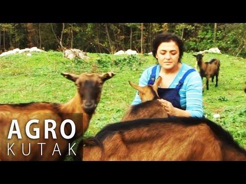 Agro kutak 8 - Uzgoj koza i muznih krava