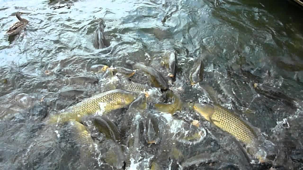 Big fish feeding frenzy stonewall jackson lake west for Feeding frenzy fish