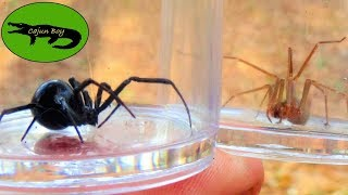 Black Widow VS Brown Recluse! - Which is Deadlier?
