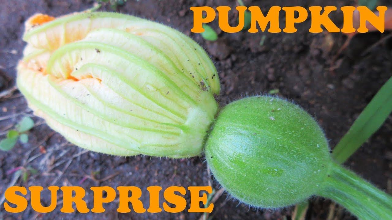 Pumpkin plant pictures