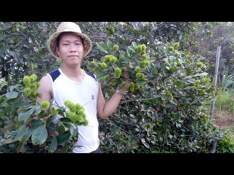 Anh nông dân chia sẻ kinh nghiệm trồng chôm chôm thái