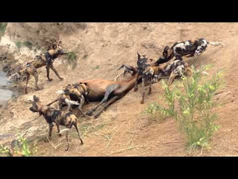 Wild Dogs on the kill at Erindi Namibia