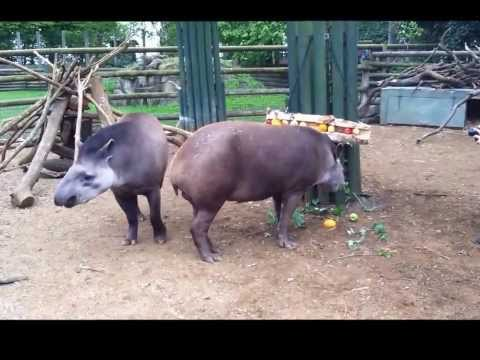 Tapir Enrichment