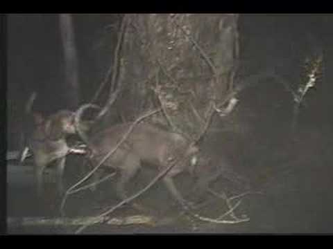 Coon Hounds Treeing in Swamp Video