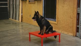 """Most Beautiful German Shepherd """"Apollo"""" 17 Mo's Trick Star Obedience/Protection Trained Dog For Sale"""