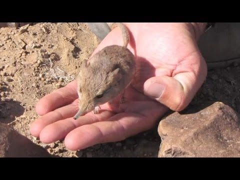 Elephant Mouse Discovered In Namibia Desert