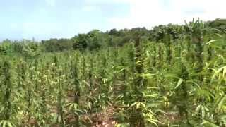Giant Marijuana Field in Jamaica - Blueberry Skunk