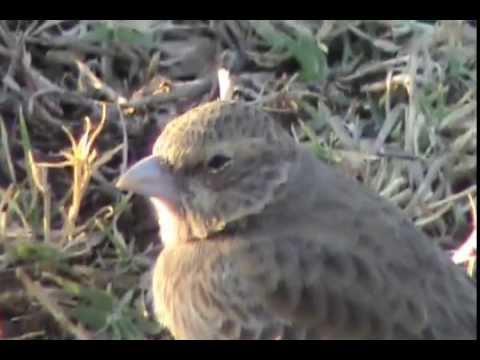 Bellied Finch Black Bellied Finch Lark