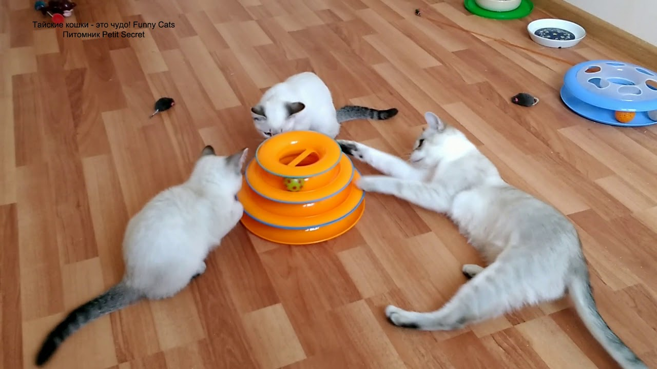 Тайский котёнок уход