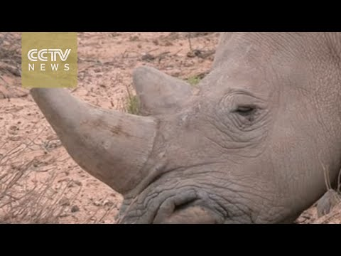Debate rages over South Africa rhino horn trade, as Supreme Court of Appeal lifts ban