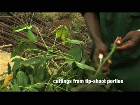 Rapid Multiplication Of Cassava  Part 1 Of 2