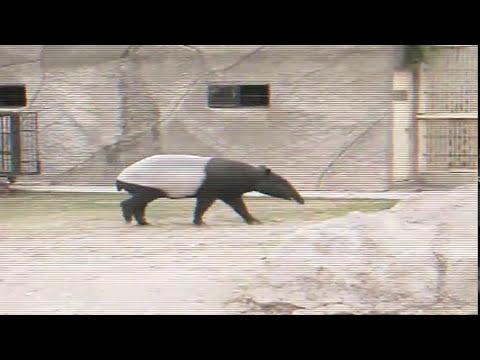 Tapir malayo: Especie exótica de Asia