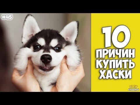 10 ПРИЧИН КУПИТЬ ХАСКИ - Интересные факты!