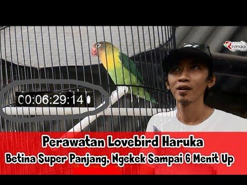 SUARA BURUNG - Perawatan Lovebird Haruka, Betina Super Panjang Ngekek Sampai 6 Menit Up