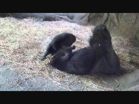 上野動物園ゴリラ_赤ちゃんコモモお父さんと遊ぼう(おてんば編)