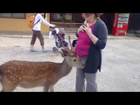 My Mom Feeds And Gets Harassed By The Deer Of Nara, Japan video