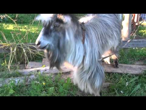 リズム感良すぎ!!ビートボックスを体で表現するヤギ