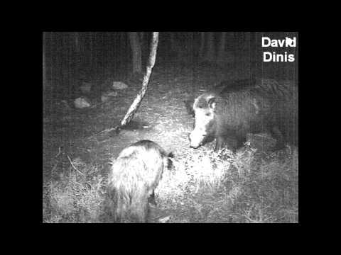 Huge boar - Stealth cam