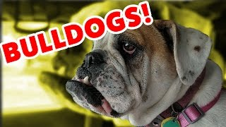 The Funniest Bulldog Videos of 2016 Weekly Compilation   Funny Pet Videos