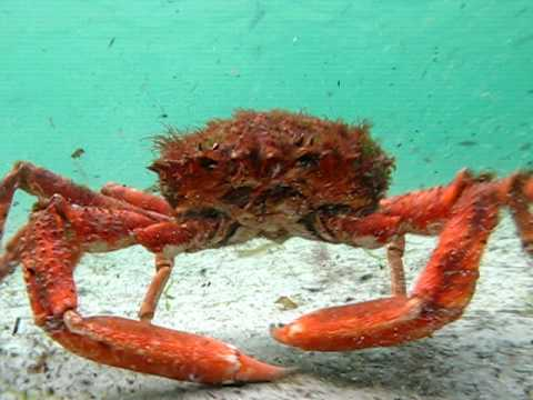 Giant King Crabs Giant Monster Spider Crab