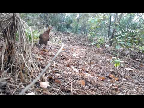 Ayam Hutan Pikat Betina 70 HD