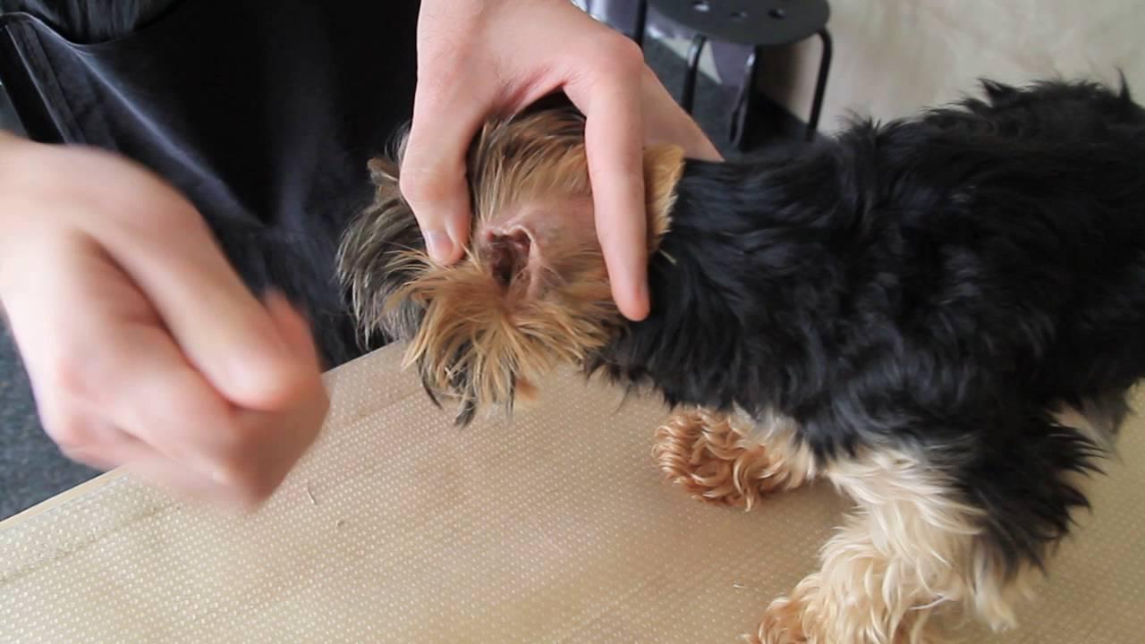 Чем чистить уши йорка в домашних условиях 7