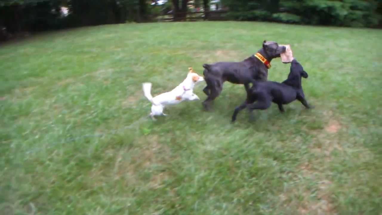 ... MASTIFF PITBULL ALASKAN MALAMUTE JACK RUSSEL MIX FIGHT PLAY - YouTube