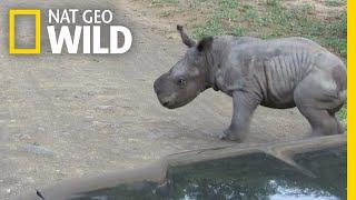 Baby Rhino Picks Fight With Car, Changes Mind | Nat Geo Wild