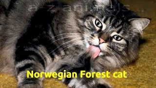 Norwegian Forest cat (Felis catus)