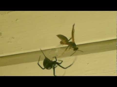 Black Widow Vs  Hornet