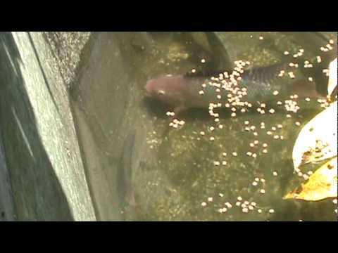 Como criar mojarra tilapia apareamiento y reproduccion 3 for Como criar mojarras