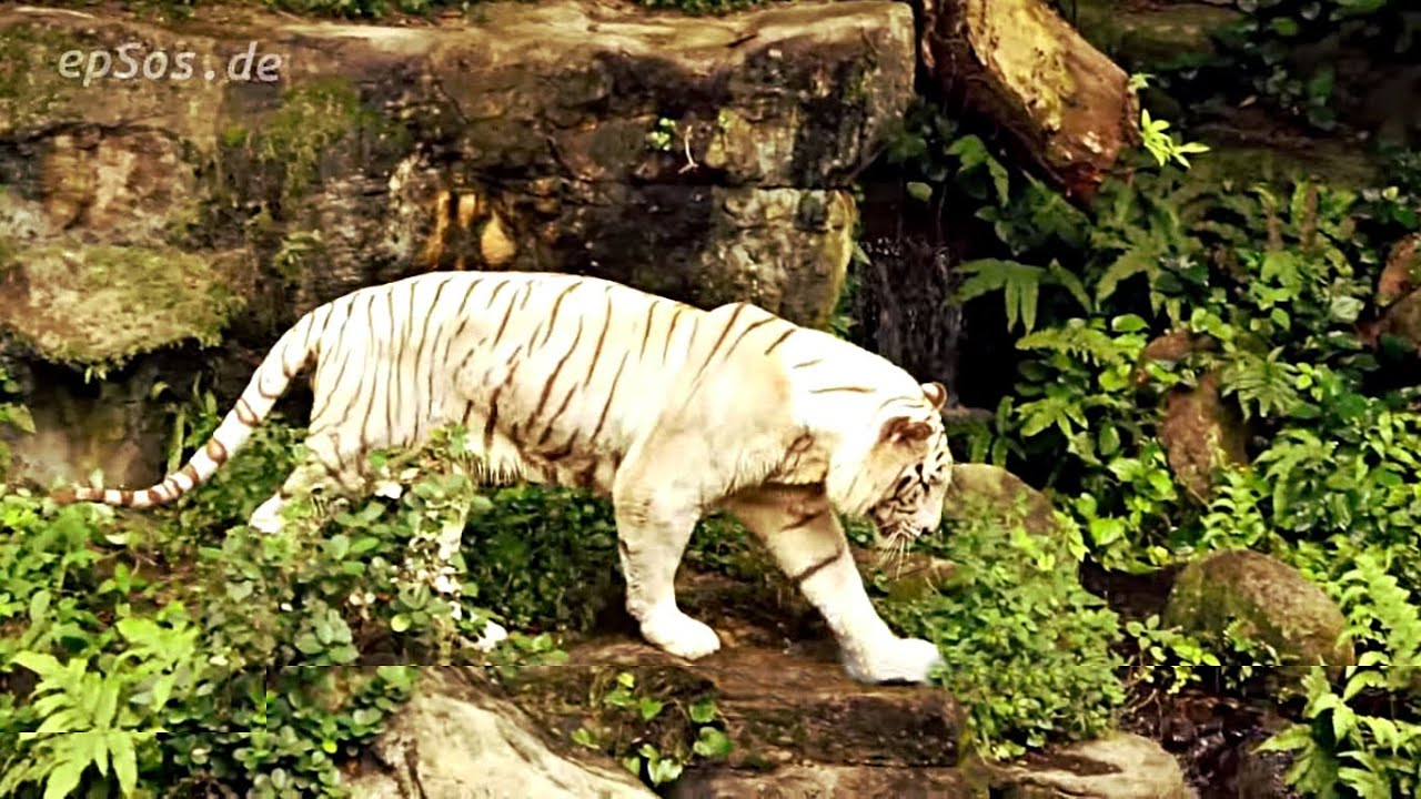 Tigers Eat Fish Fish Eat White Tigers Poo in