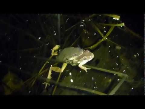 Active Vernal Pool. Peepers, Wood Frogs, American Toads