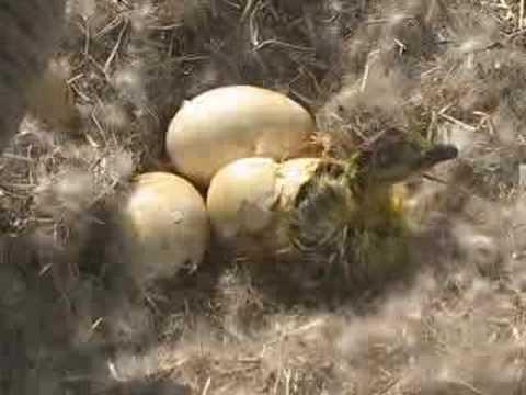 بيض الاوز Hqdefault